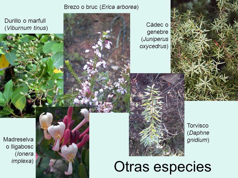 Otras especies Brezo o bruc (Erica arborea)
