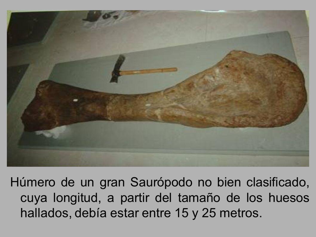 Húmero de un gran Saurópodo no bien clasificado, cuya longitud, a partir del tamaño de los huesos hallados, debía estar entre 15 y 25 metros.
