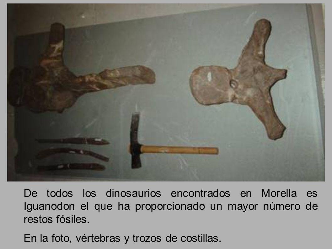 De todos los dinosaurios encontrados en Morella es Iguanodon el que ha proporcionado un mayor número de restos fósiles.