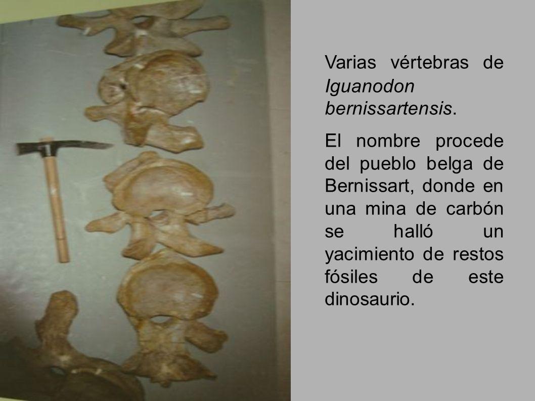 Varias vértebras de Iguanodon bernissartensis.