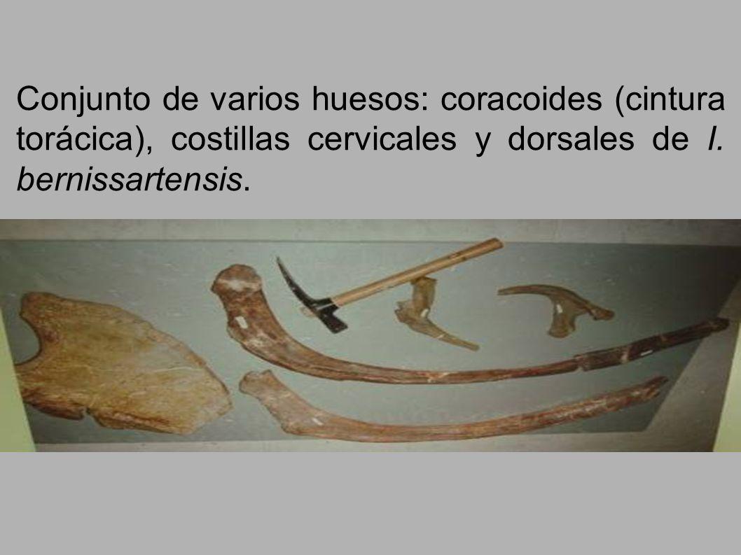 Conjunto de varios huesos: coracoides (cintura torácica), costillas cervicales y dorsales de I.