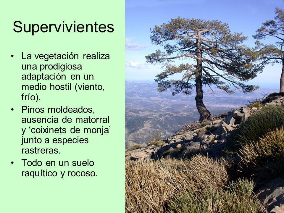Supervivientes La vegetación realiza una prodigiosa adaptación en un medio hostil (viento, frío).