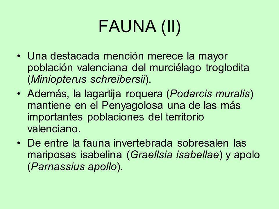 FAUNA (II) Una destacada mención merece la mayor población valenciana del murciélago troglodita (Miniopterus schreibersii).