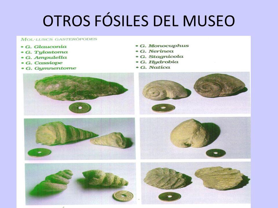 OTROS FÓSILES DEL MUSEO