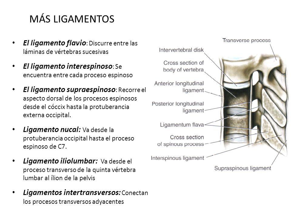 MÁS LIGAMENTOSEl ligamento flavio: Discurre entre las láminas de vértebras sucesivas.
