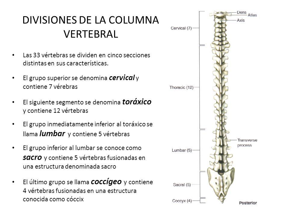 DIVISIONES DE LA COLUMNA VERTEBRAL