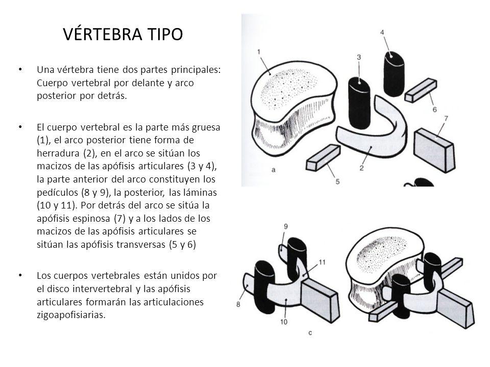 VÉRTEBRA TIPOUna vértebra tiene dos partes principales: Cuerpo vertebral por delante y arco posterior por detrás.