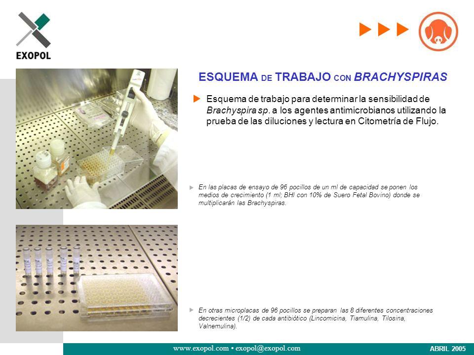 ESQUEMA DE TRABAJO CON BRACHYSPIRAS