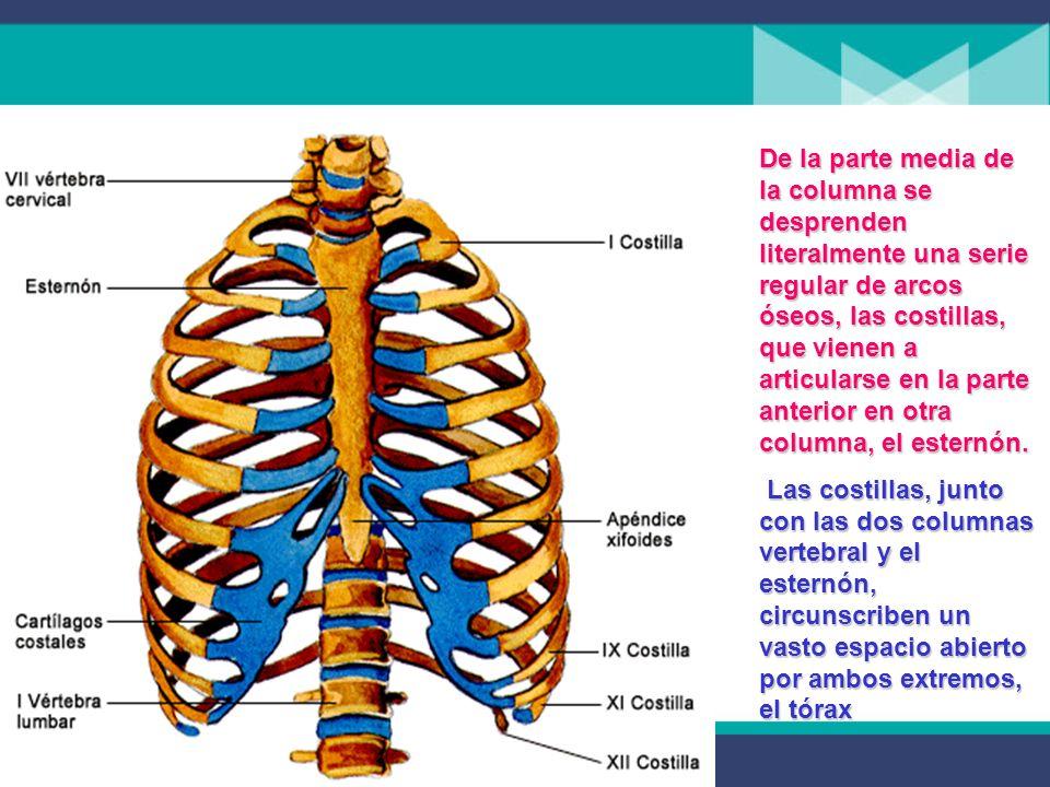 De la parte media de la columna se desprenden literalmente una serie regular de arcos óseos, las costillas, que vienen a articularse en la parte anterior en otra columna, el esternón.