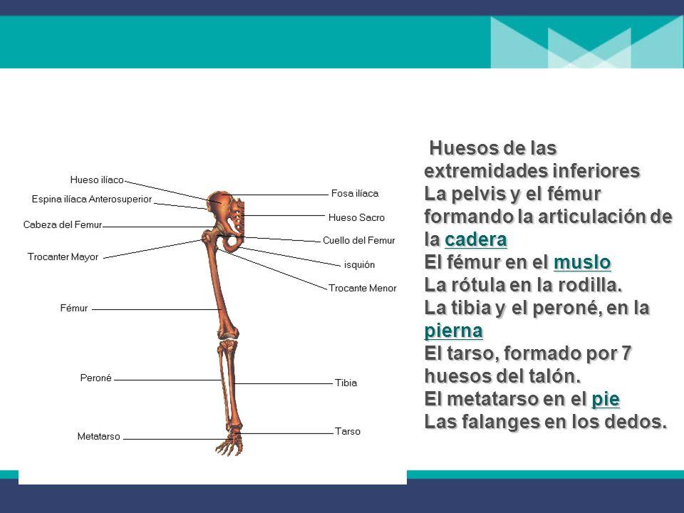 Huesos de las extremidades inferiores La pelvis y el fémur formando la articulación de la cadera El fémur en el muslo La rótula en la rodilla.