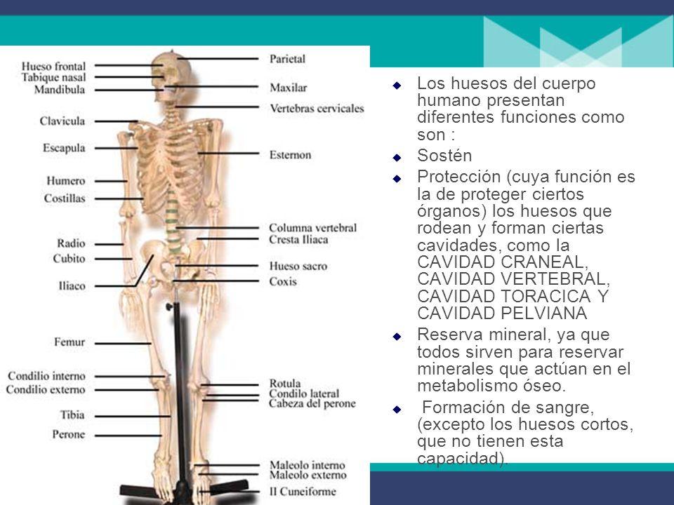 Los huesos del cuerpo humano presentan diferentes funciones como son :