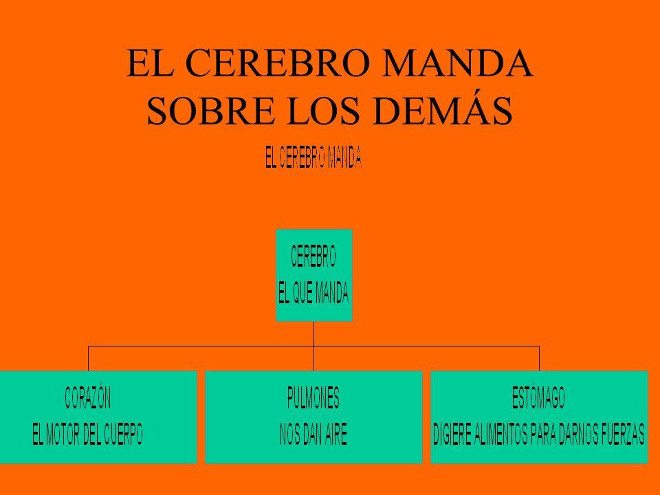 EL CEREBRO MANDA SOBRE LOS DEMÁS