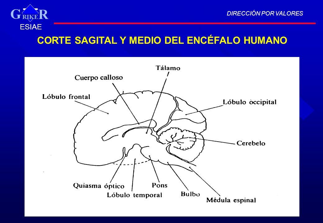 CORTE SAGITAL Y MEDIO DEL ENCÉFALO HUMANO