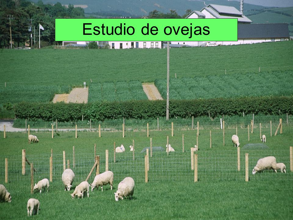 Estudio de ovejas IBERS also looked at sheep