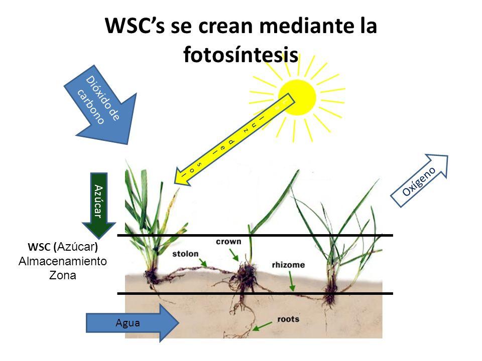 WSC's se crean mediante la fotosíntesis