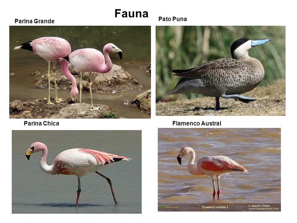 Fauna Pato Puna Parina Grande Parina Chica Flamenco Austral