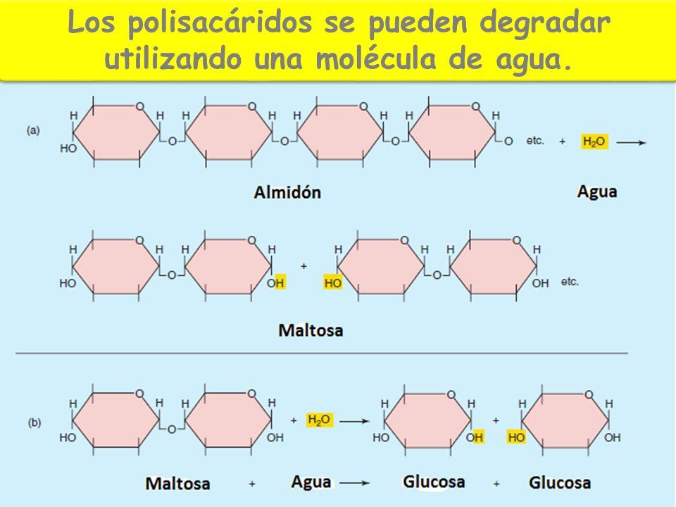 Los polisacáridos se pueden degradar utilizando una molécula de agua.