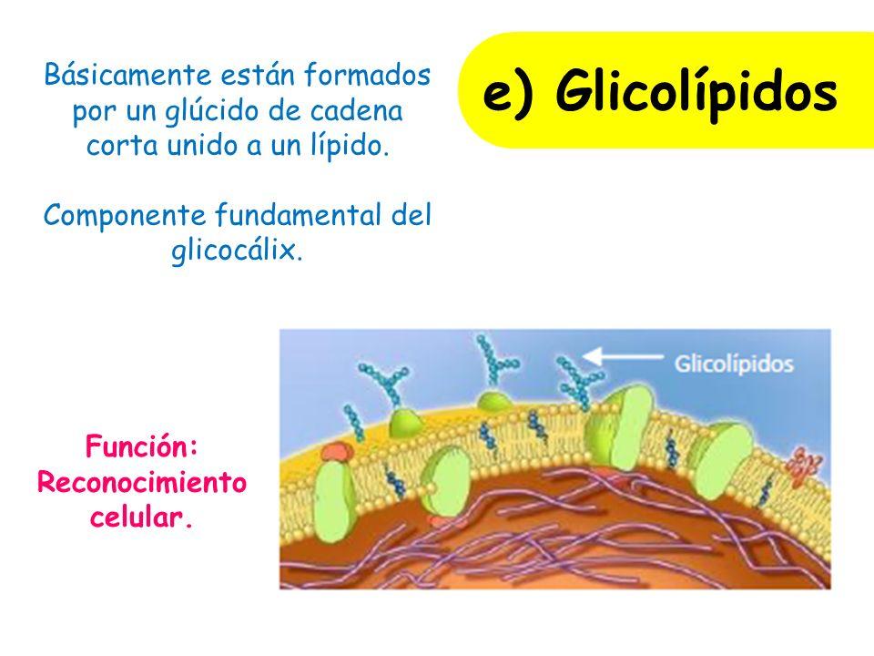 Función: Reconocimiento celular.