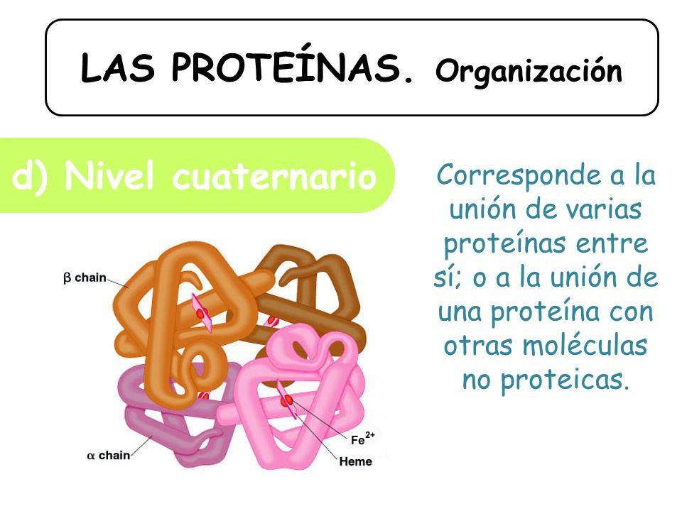 LAS PROTEÍNAS. Organización