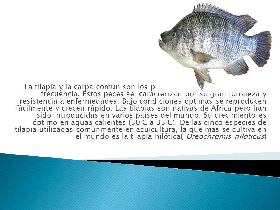 La tilapia y la carpa común son los peces que se cultivan con mayor frecuencia.