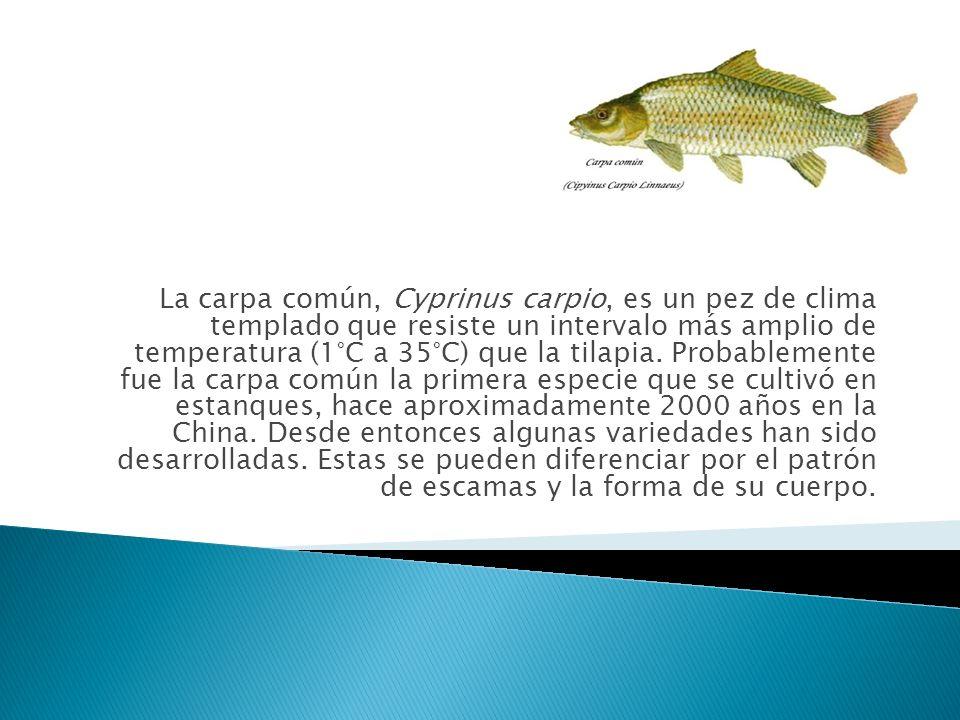 La carpa común, Cyprinus carpio, es un pez de clima templado que resiste un intervalo más amplio de temperatura (1°C a 35°C) que la tilapia.