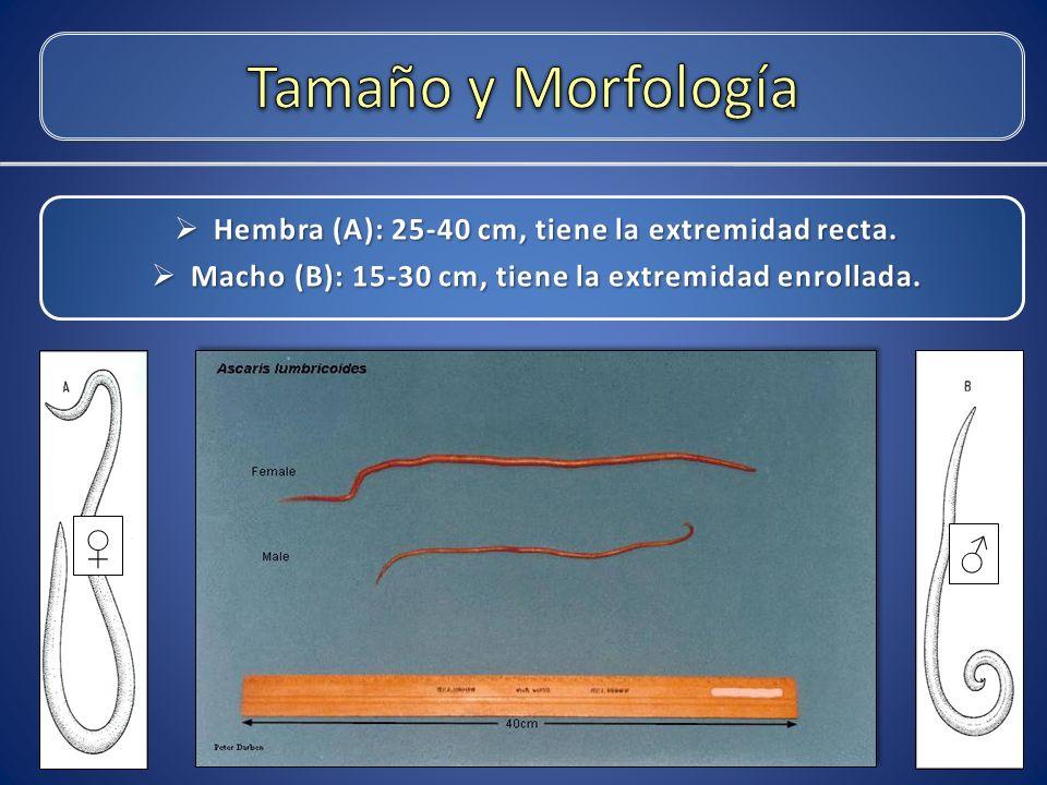 Tamaño y Morfología Hembra (A): 25-40 cm, tiene la extremidad recta. Macho (B): 15-30 cm, tiene la extremidad enrollada.