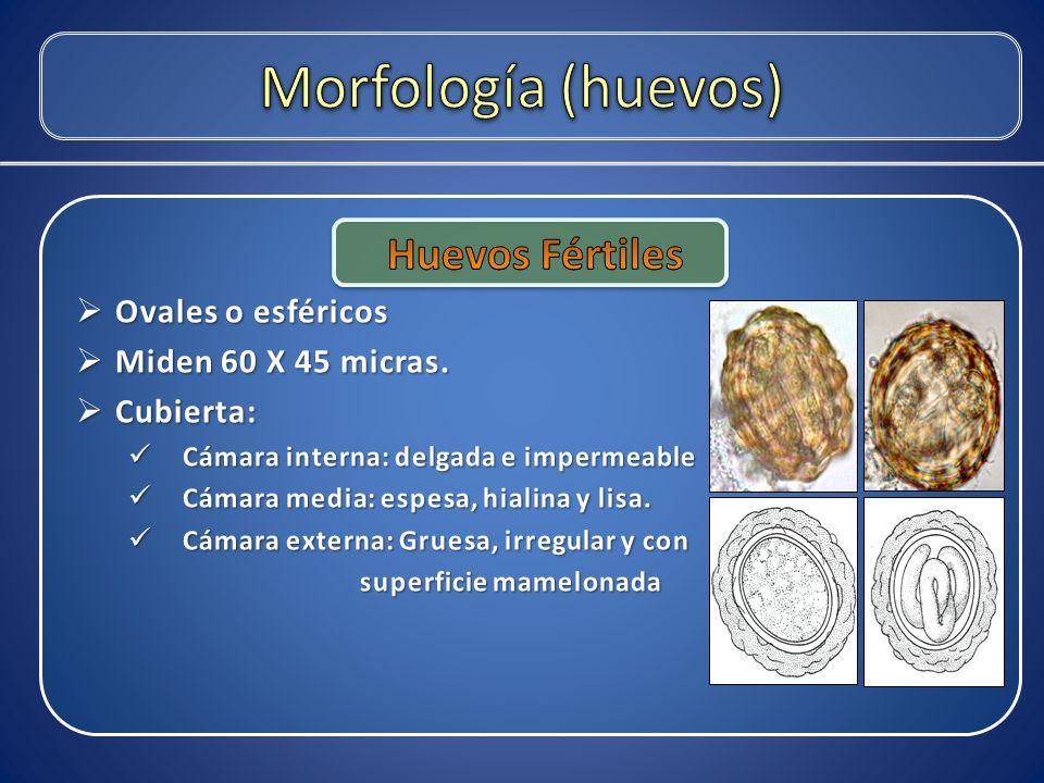 Morfología (huevos) Huevos Fértiles Ovales o esféricos