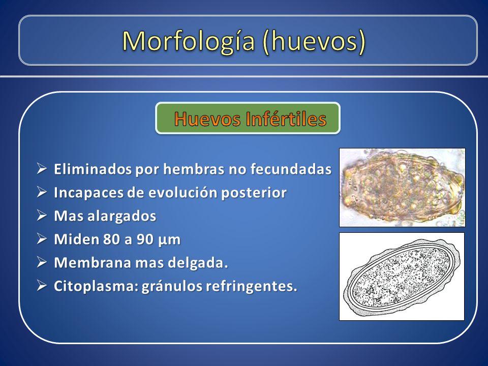 Morfología (huevos) Huevos Infértiles