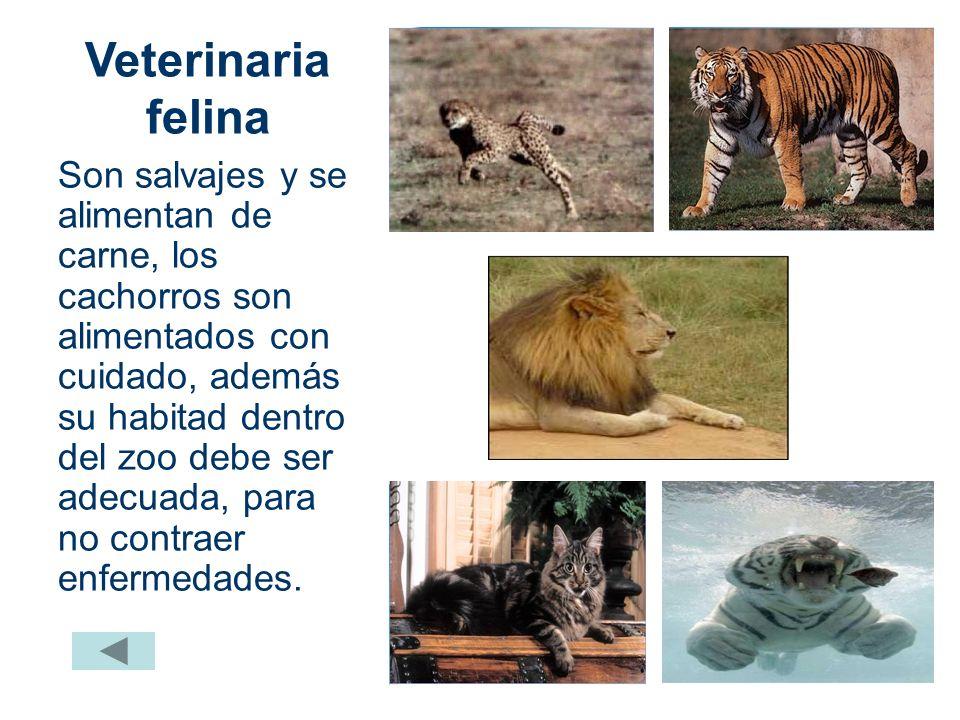 Veterinaria felina