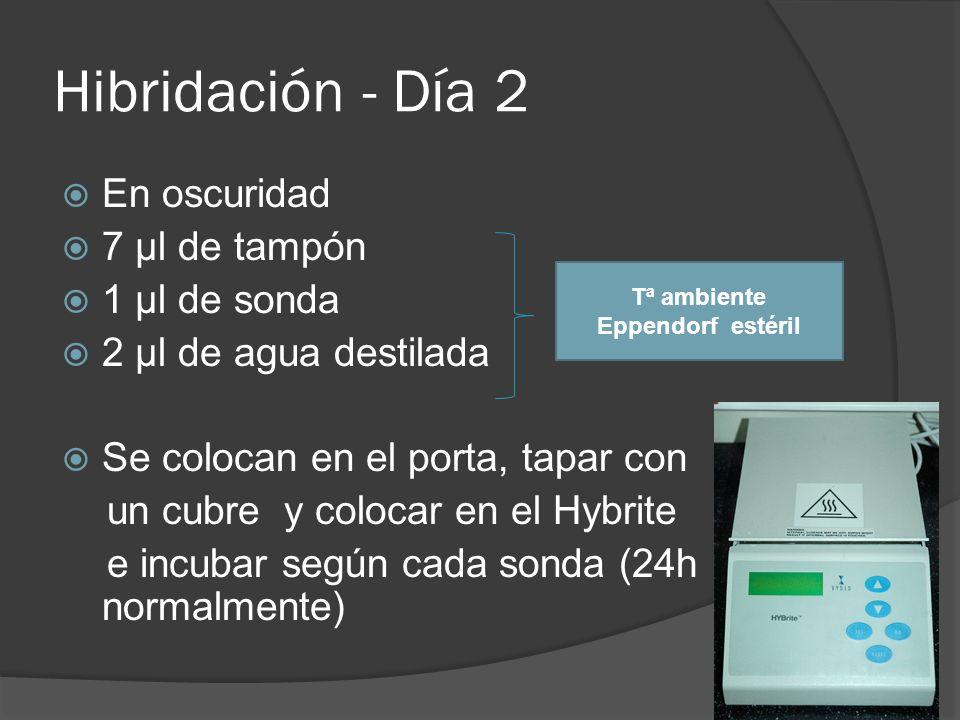 Hibridación - Día 2 En oscuridad 7 µl de tampón 1 µl de sonda