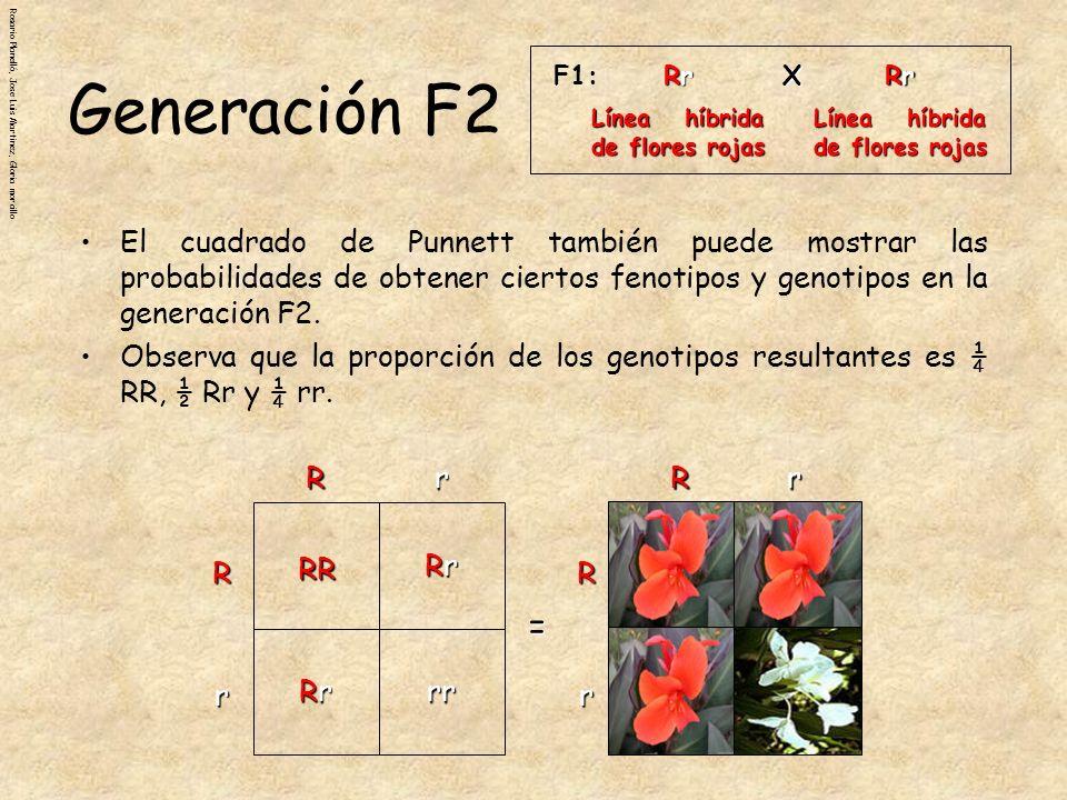 F1: Rr. Línea híbrida de flores rojas. X. Generación F2.
