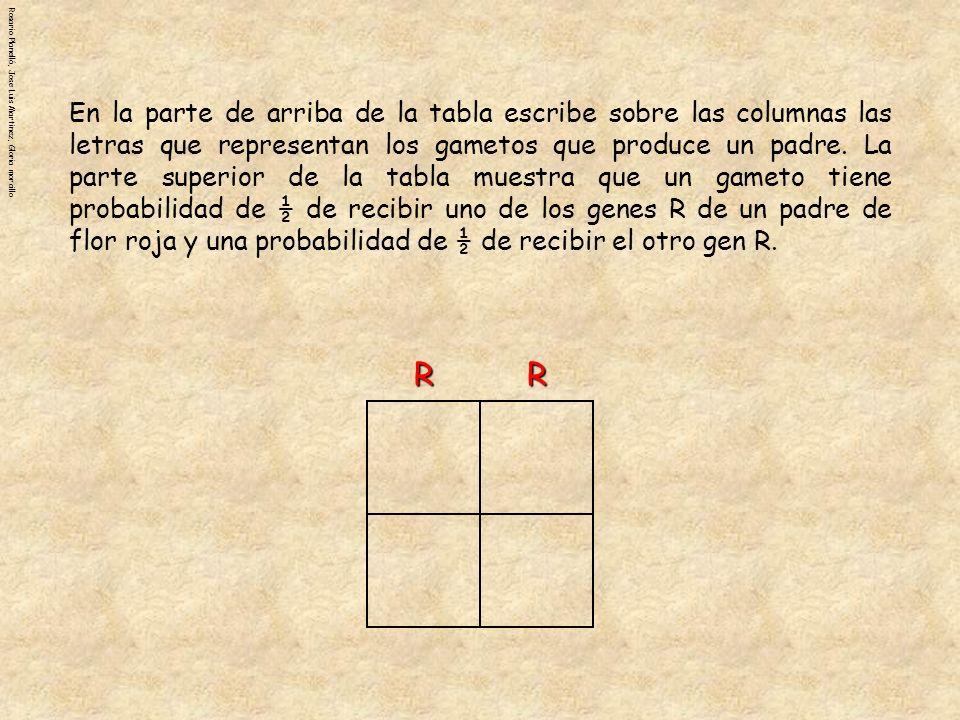 En la parte de arriba de la tabla escribe sobre las columnas las letras que representan los gametos que produce un padre. La parte superior de la tabla muestra que un gameto tiene probabilidad de ½ de recibir uno de los genes R de un padre de flor roja y una probabilidad de ½ de recibir el otro gen R.