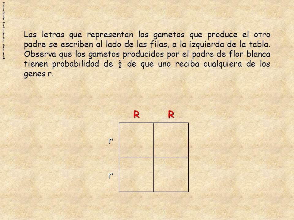 Las letras que representan los gametos que produce el otro padre se escriben al lado de las filas, a la izquierda de la tabla. Observa que los gametos producidos por el padre de flor blanca tienen probabilidad de ½ de que uno reciba cualquiera de los genes r.