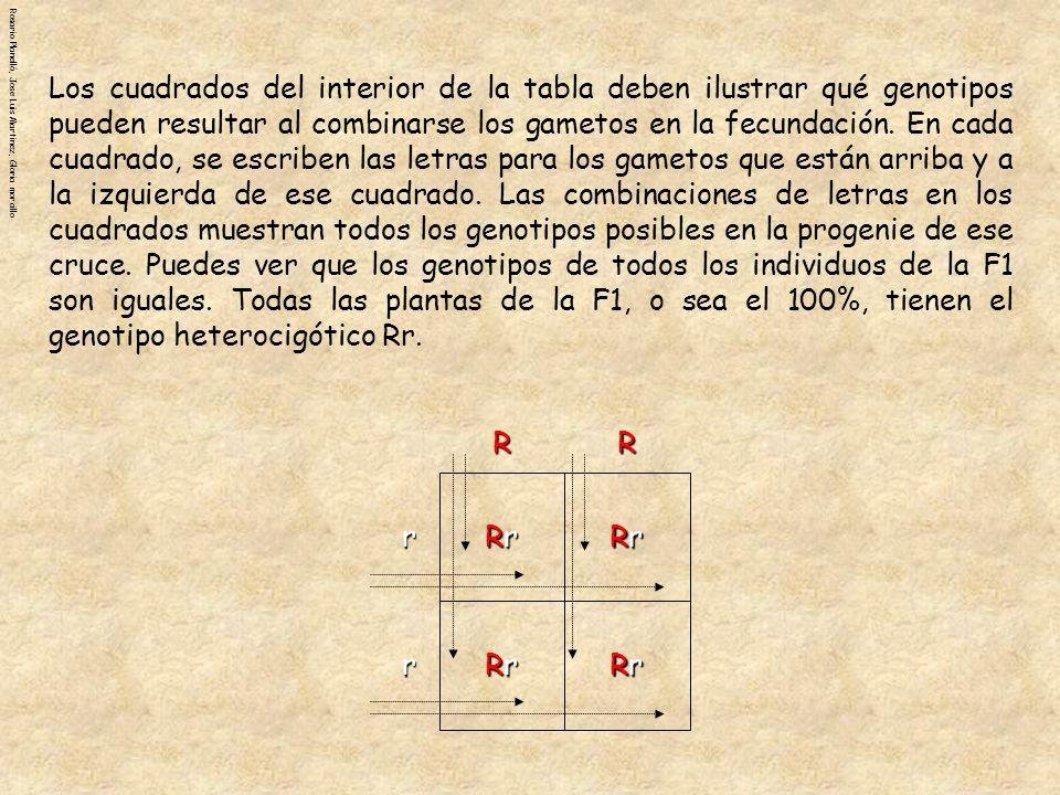 Los cuadrados del interior de la tabla deben ilustrar qué genotipos pueden resultar al combinarse los gametos en la fecundación. En cada cuadrado, se escriben las letras para los gametos que están arriba y a la izquierda de ese cuadrado. Las combinaciones de letras en los cuadrados muestran todos los genotipos posibles en la progenie de ese cruce. Puedes ver que los genotipos de todos los individuos de la F1 son iguales. Todas las plantas de la F1, o sea el 100%, tienen el genotipo heterocigótico Rr.
