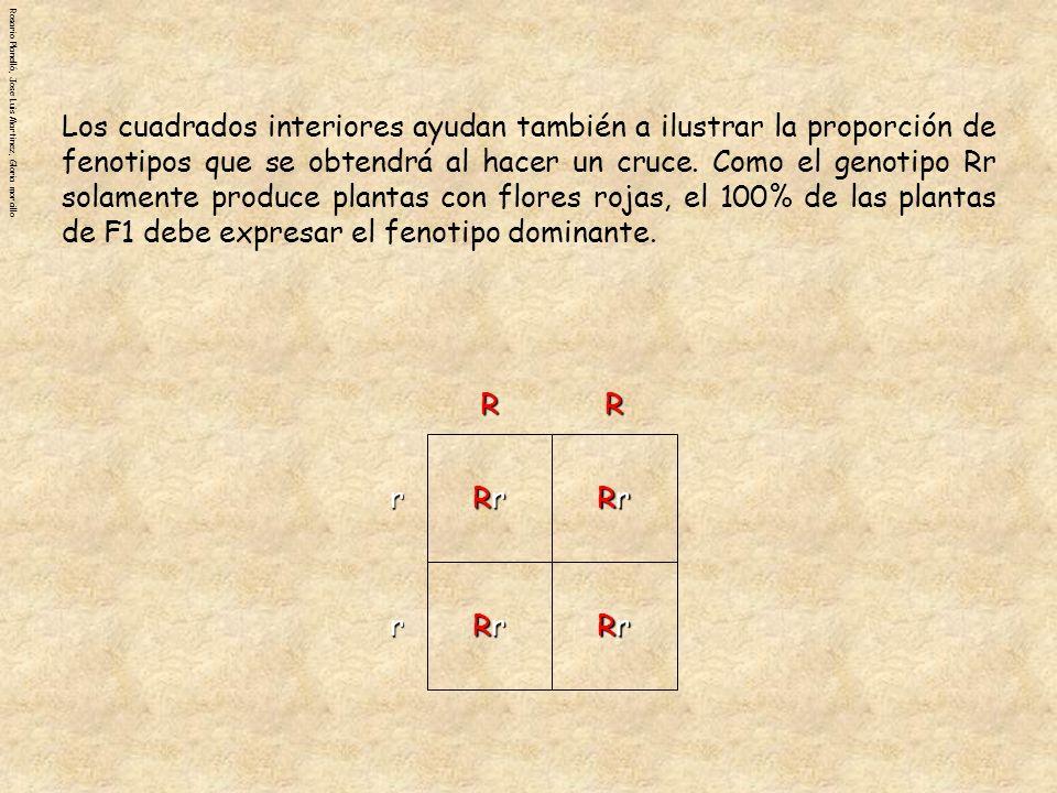 Los cuadrados interiores ayudan también a ilustrar la proporción de fenotipos que se obtendrá al hacer un cruce. Como el genotipo Rr solamente produce plantas con flores rojas, el 100% de las plantas de F1 debe expresar el fenotipo dominante.