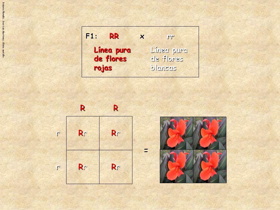 = R r Rr RR Línea pura de flores rojas Línea pura de flores blancas x