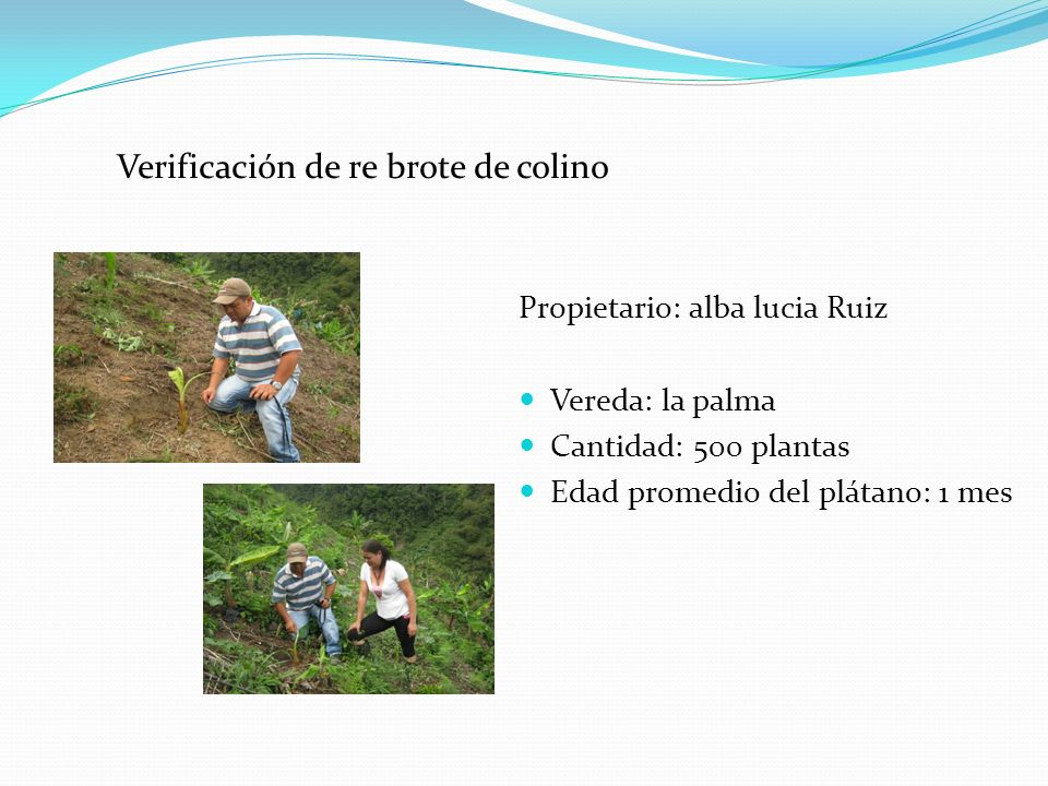 Verificación de re brote de colino