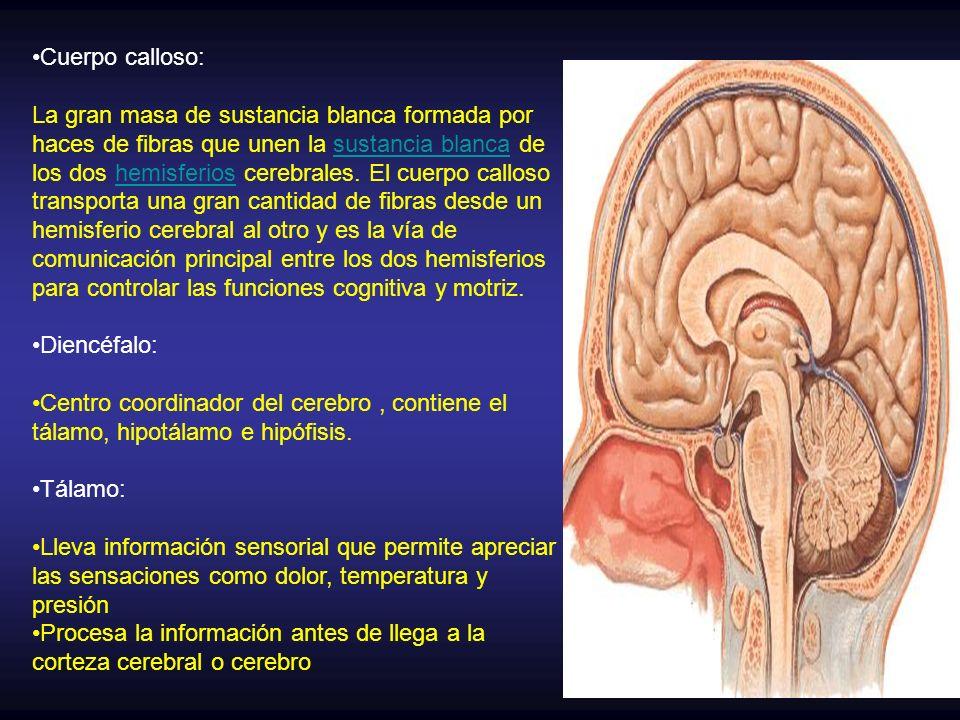 Lujoso La Función Del Cuerpo Calloso Elaboración - Imágenes de ...