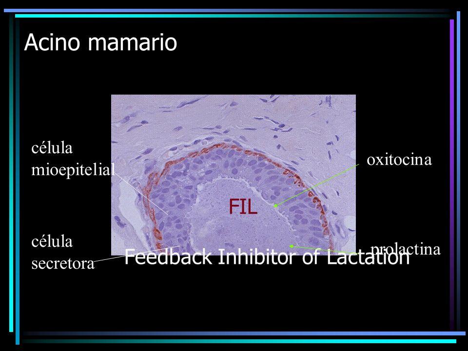 Acino mamario FIL Feedback Inhibitor of Lactation célula mioepitelial