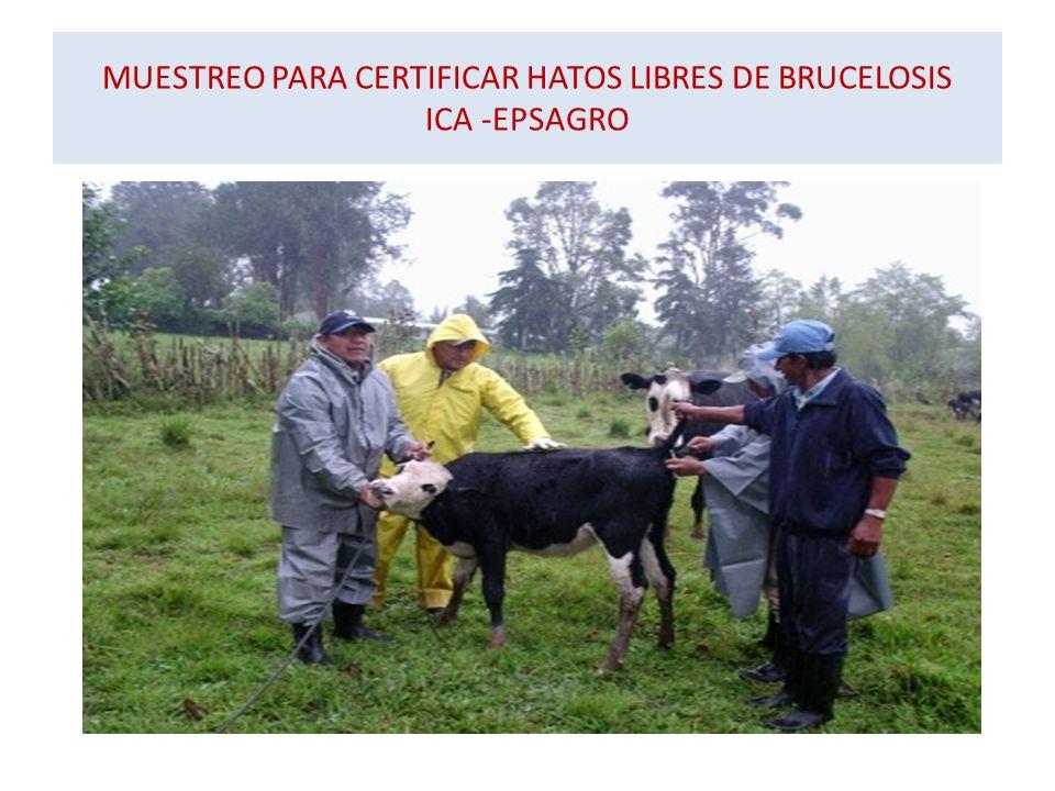 MUESTREO PARA CERTIFICAR HATOS LIBRES DE BRUCELOSIS ICA -EPSAGRO