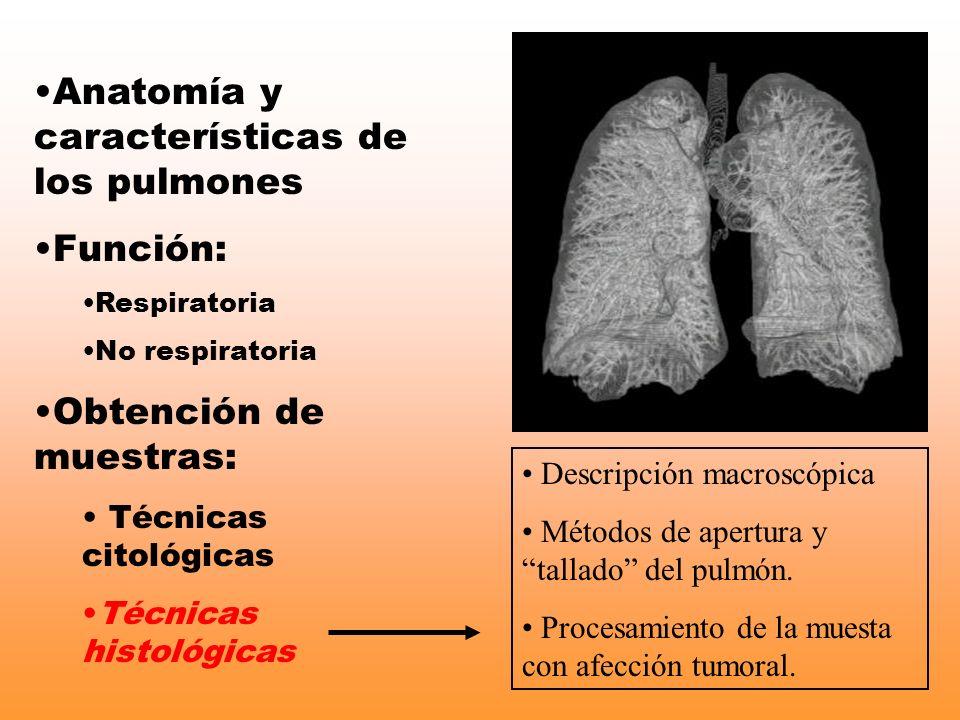 Anatomía y características de los pulmones
