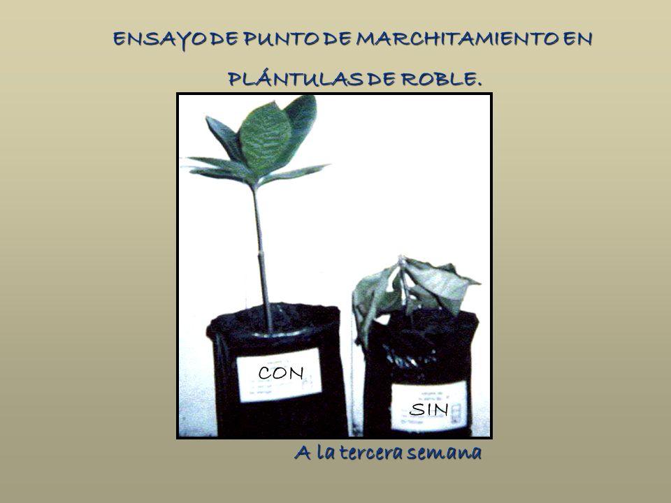 ENSAYO DE PUNTO DE MARCHITAMIENTO EN