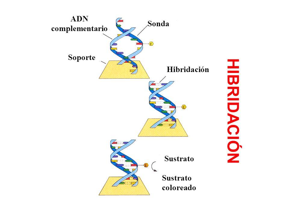HIBRIDACIÓN ADN complementario Sonda Soporte Hibridación Sustrato
