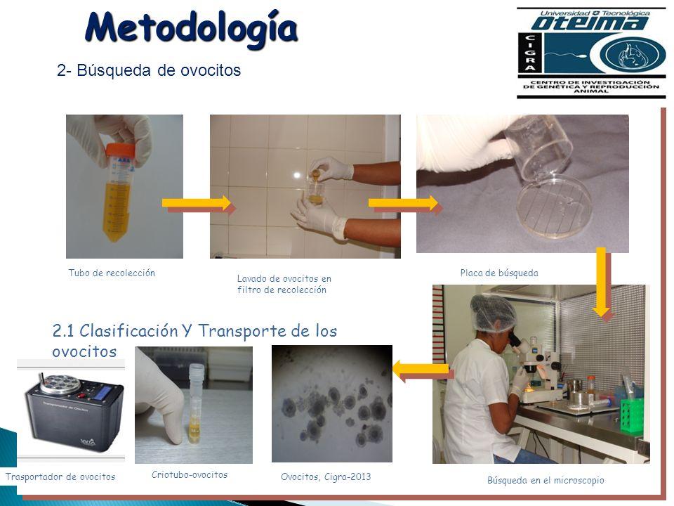 Metodología 2- Búsqueda de ovocitos