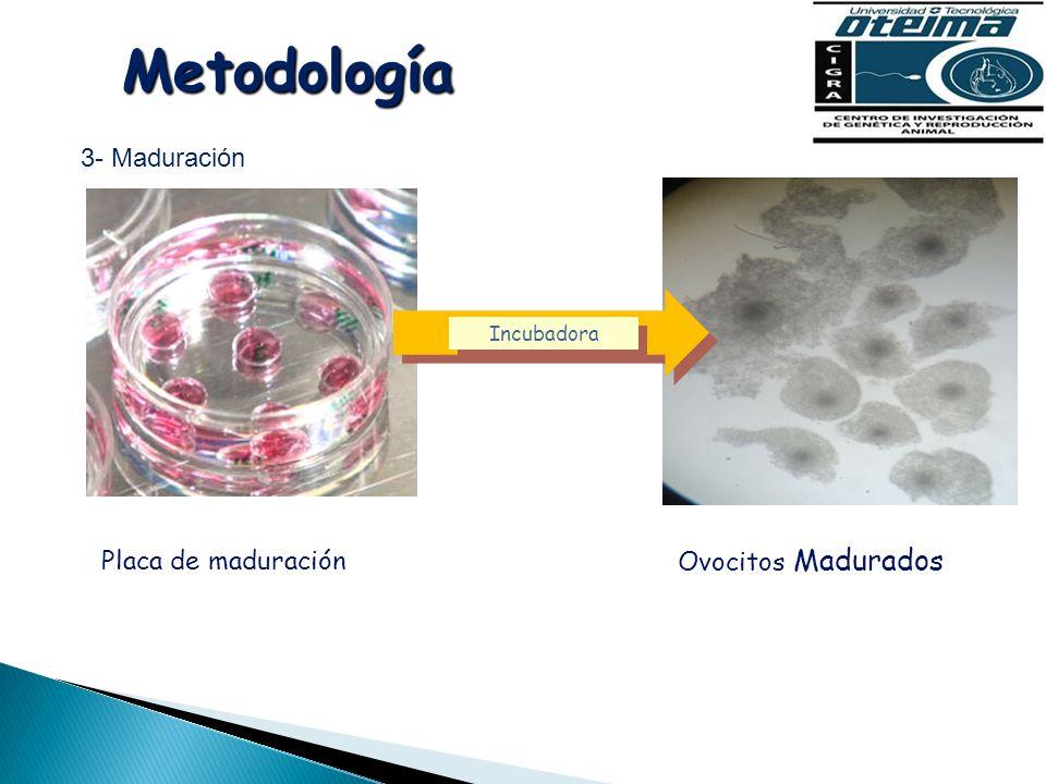 Metodología 3- Maduración Placa de maduración Ovocitos Madurados