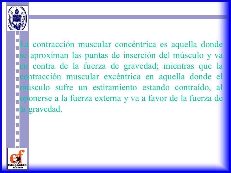 La contracción muscular concéntrica es aquella donde se aproximan las puntas de inserción del músculo y va en contra de la fuerza de gravedad; mientras que la contracción muscular excéntrica en aquella donde el músculo sufre un estiramiento estando contraído, al oponerse a la fuerza externa y va a favor de la fuerza de la gravedad.