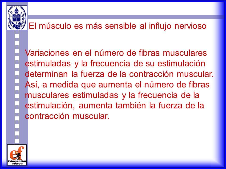 El músculo es más sensible al influjo nervioso
