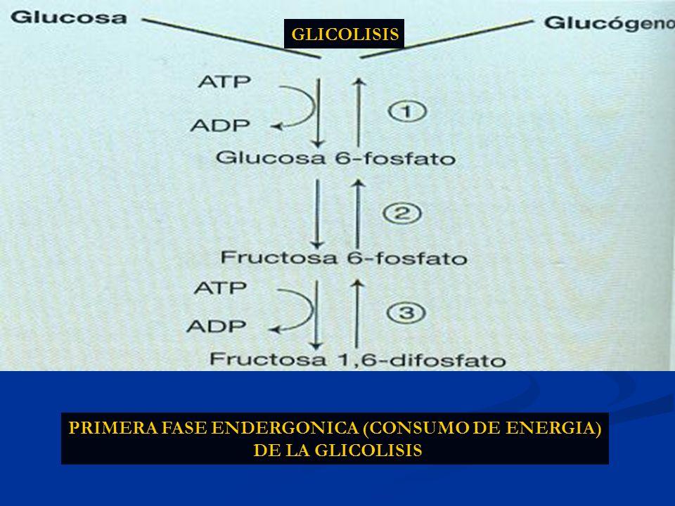 PRIMERA FASE ENDERGONICA (CONSUMO DE ENERGIA)