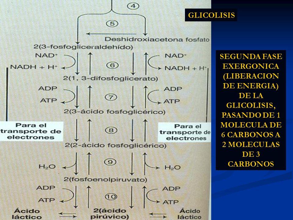 GLICOLISIS SEGUNDA FASE EXERGONICA (LIBERACION DE ENERGIA) DE LA GLICOLISIS, PASANDO DE 1 MOLECULA DE 6 CARBONOS A 2 MOLECULAS DE 3 CARBONOS.