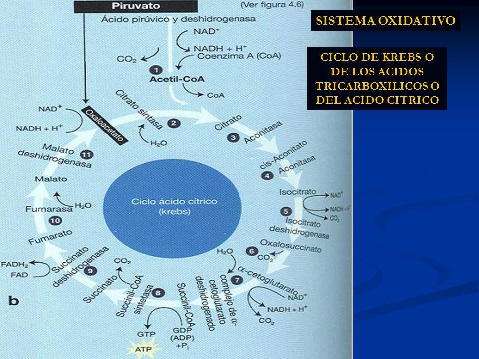 CICLO DE KREBS O DE LOS ACIDOS TRICARBOXILICOS O DEL ACIDO CITRICO